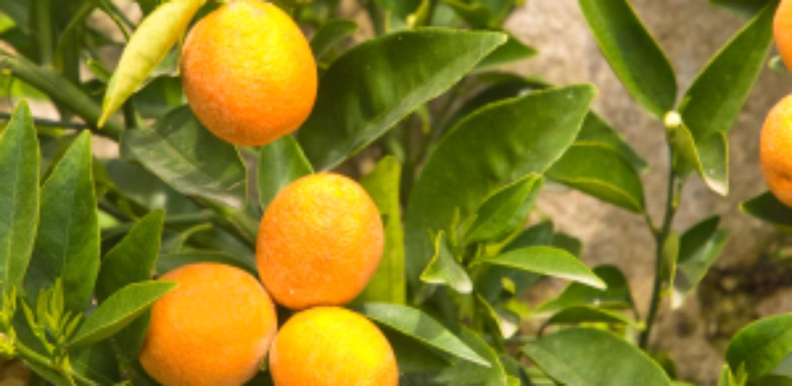 La vitamine C, célèbre mais sous-estimée