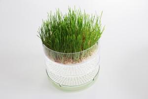 Germoir bioSnacky : Herbe de blé bioSnacky