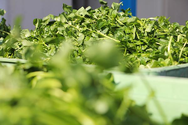 Le crésson frais pour Herbamare