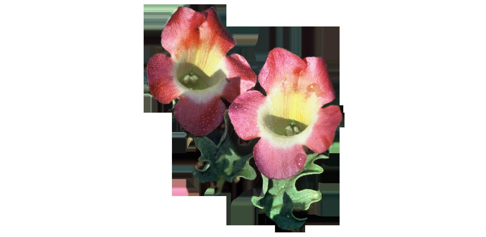 Harpagophytum procumbens - Griffe du Diable - Harpagophyton