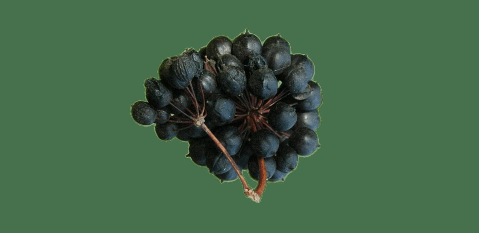 Éleuthérocoque – Eleutherococcus senticosus – Ginseng de Sibérie