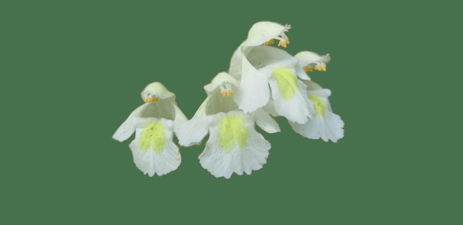 Galéopsis – Galeopsis segetum