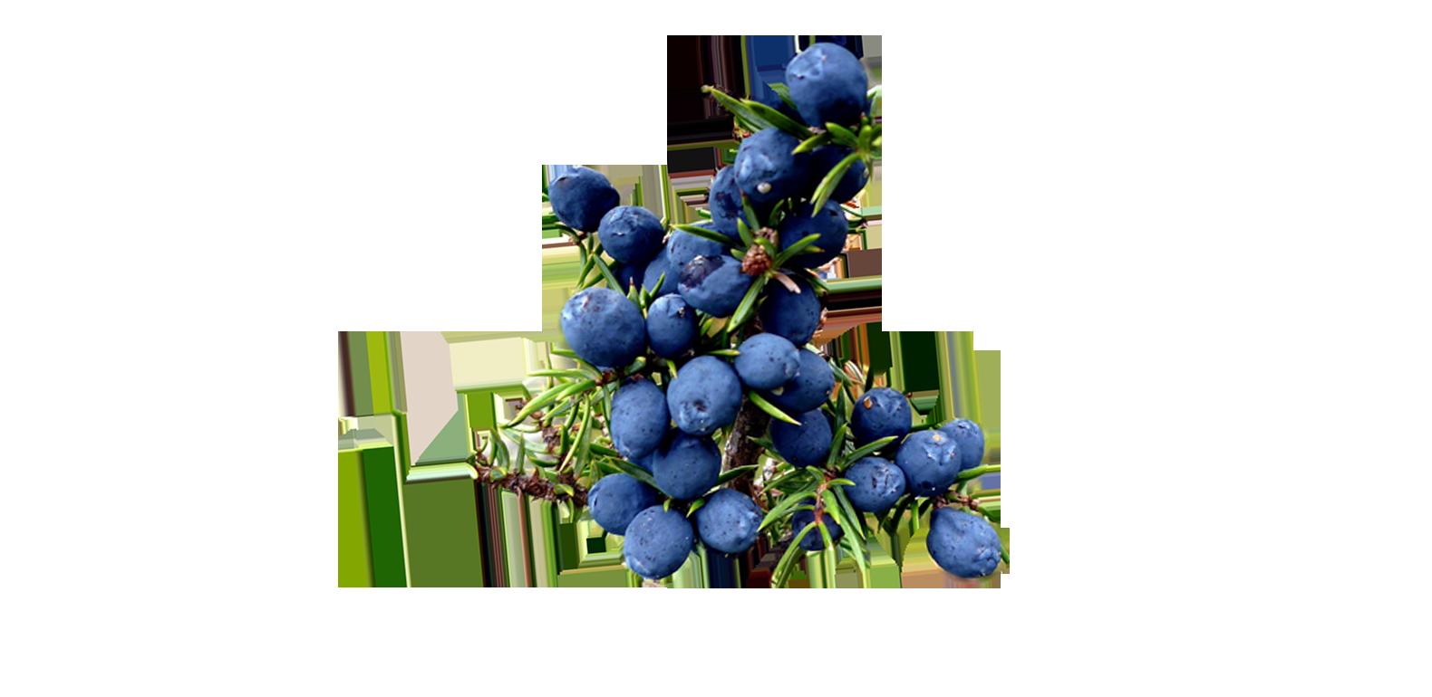 Genévrier – Juniperus communis