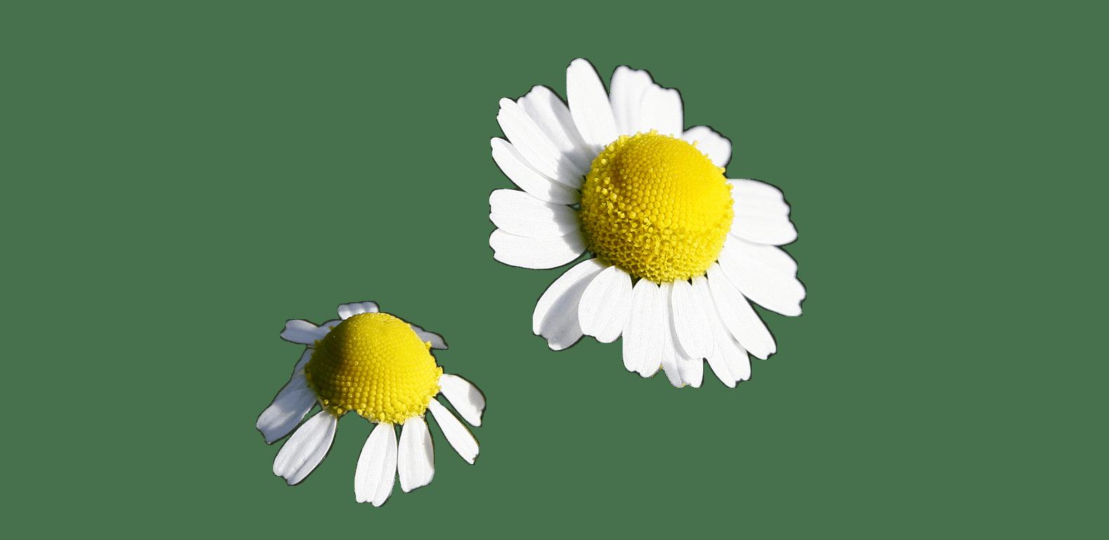 Matricaire – Matricaria chamomilla - Camomille