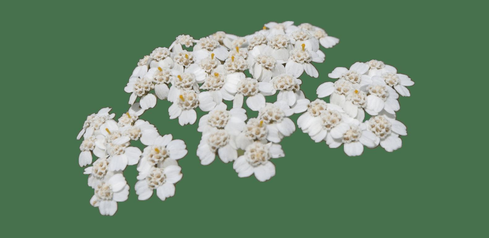 Millefeuille – Achillea millefollium