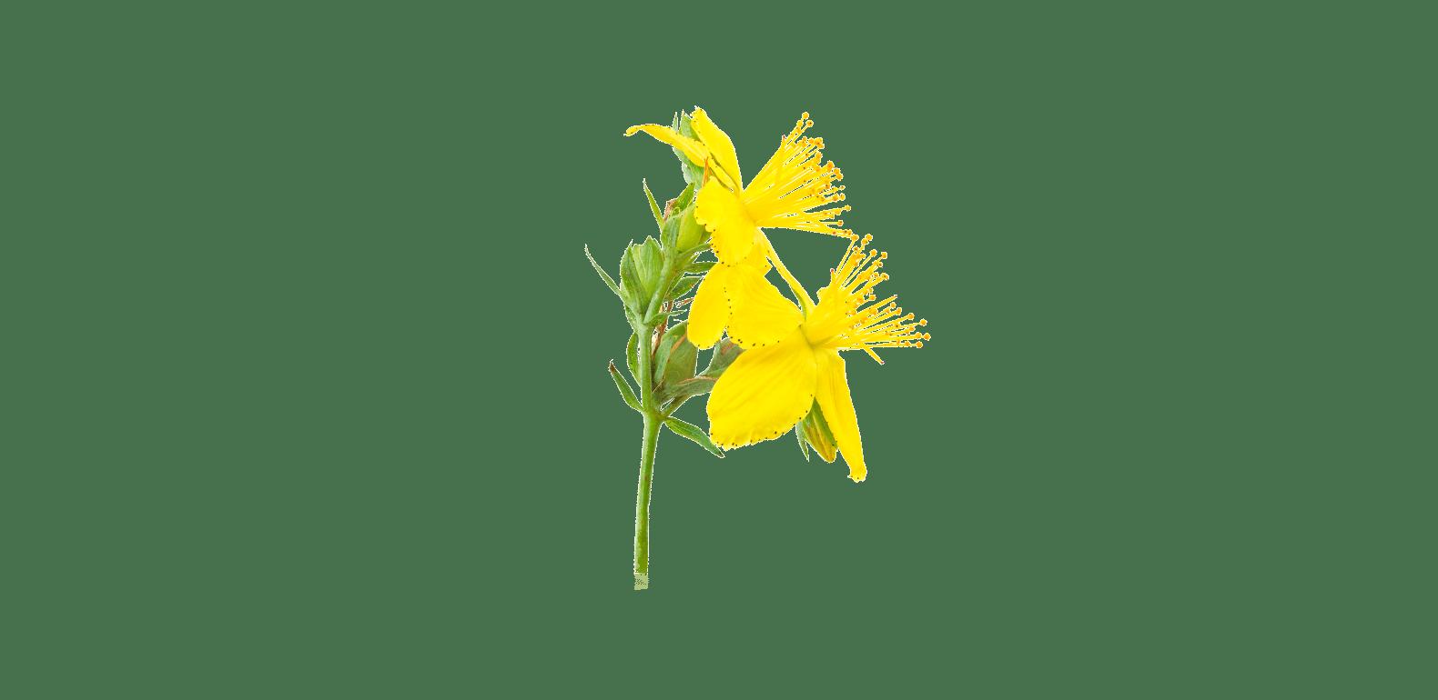 Millepertuis - Hypericum perforatum