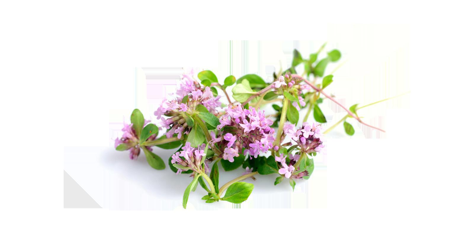 Thym - Thymus vulgaris