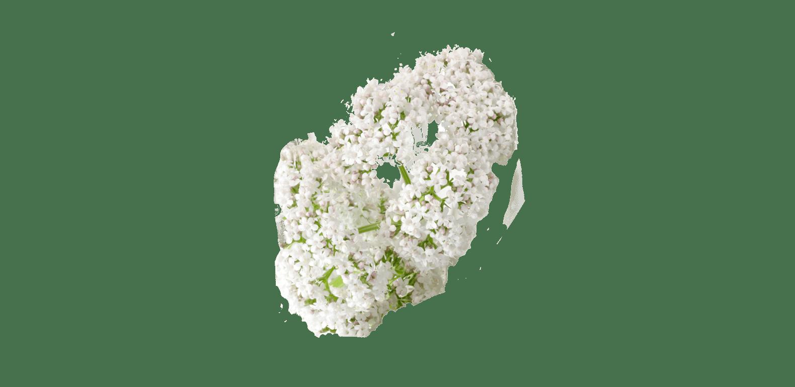 Valériane - Valeriana officinalis